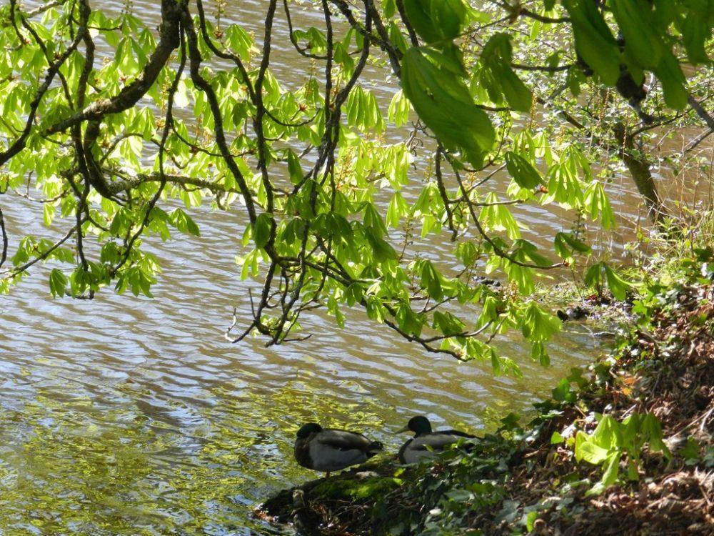 Au fil de la visite, des canards...